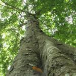 マヤナッツの樹